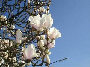 magnolia-89561_1280